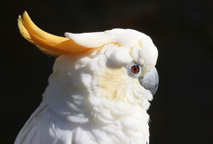 Citron-Crested Cockatoo: Bird Species Profile